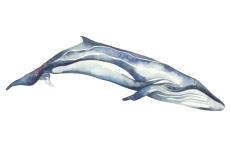 whale_06_web
